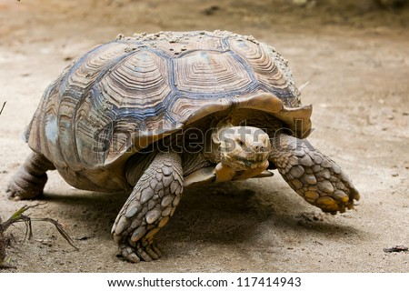 Elongated Tortoise - Indotestudo elongata
