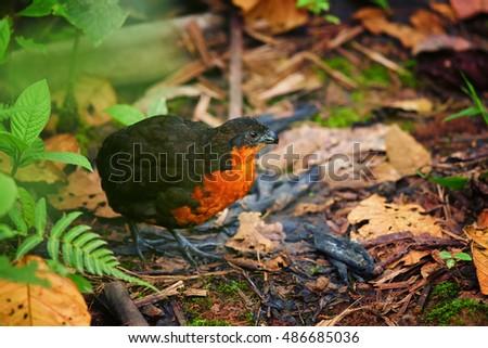 Elusive, rare bird Odontophorus melanonotus,  Dark-backed Wood-quail  in typical habitat of ecuadorian cloud forest. West Andes, Ecuador, South America. #486685036
