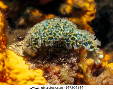 Elysia crispata, common name the lettuce sea slug, is a large and colorful species of sea slug, a marine gastropod mollusk