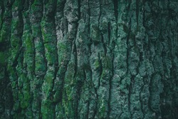 Embossed texture of the bark of oak with green moss. Deep green tree trunk covered old mossy lichen bark in rainforest. Vibrant bright green moss growing natural on tree trunks texture.