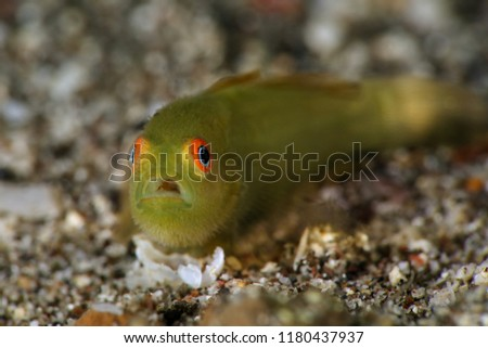 Emerald coral goby (Paragobiodon xanthosoma). Picture was taken in Lembeh Strait, Indonesia