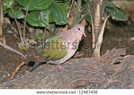 Emerald Dove, Chalcophaps Indica