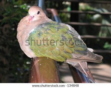 Emerald Dove - Male 07