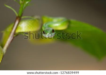 Emerald Palm snake venomous snake