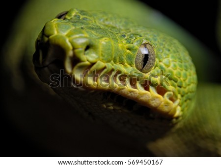 Emerald tree Boa close-up. Corallus caninus