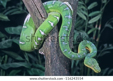 Emerald tree boa coiled in tree