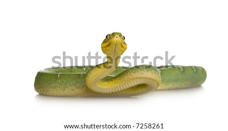 Emerald Tree Boa - Corallus caninus in front of a white background