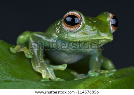 Emerald tree frog / Boophis luteus - stock photo