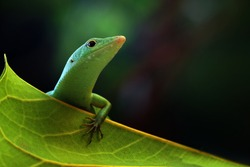 Emerald tree skink on green leaves, reptile closeup