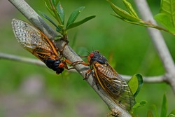 Emerged 17 year Brood X periodical cicadas. Every 17 years they tunnel up from the ground and molt into their adult form and mate.  Newly hatched cicada nymphs fall from trees and burrow into dirt.