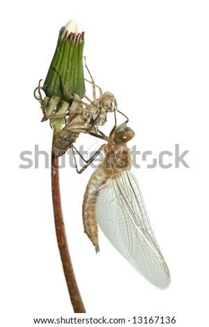 emergence of dragonfly isolated on white background