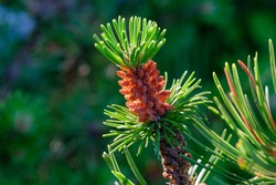 Emerging pine cone. Closeup, macro. Pine cone on a branch of