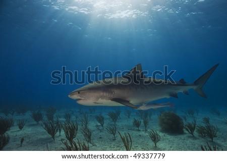 Emma Tiger Shark is a popular shark that hangs out at Tiger Beach, Bahamas.