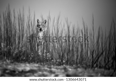 Stock Photo Emotion black and white photo, the wild wolf standing behind the bushes. Wildlife photography in Bulgaria. Artistic photo.