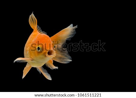 Emotion stance of  Goldfish (Carassius auratus), Action isolate on black background