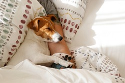 Emotional support animal concept. Man sleeping with jack russell terrier dog in his hands. Adult male and his pet lying together in bed. Close up, copy space, background.