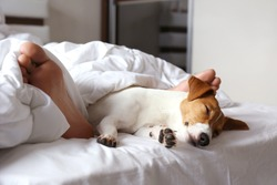 Emotional support animal concept. Sleeping man's feet with jack russell terrier dog in bed. Adult male and his pet lying together on white linens covered with blanket. Close up, copy space, background