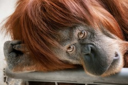 Emotionally touching portrait of a beautiful orangutan looking directly into the camera