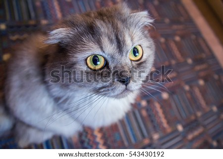 emotions gray fluffy cat face with bright yellow eyes / emotions on the cat's face #543430192