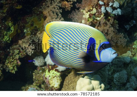Emperator angelfish (Pomacanthus imperator) of red sea, Hurhgada, Egyptia.
