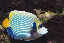 Emperor Angelfish (Pomacanthus imperator) in Aquarium