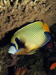 Emperor angelfish under a table coral