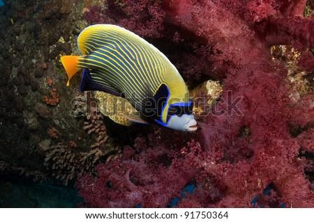 Emperor Angelfish with soft corals