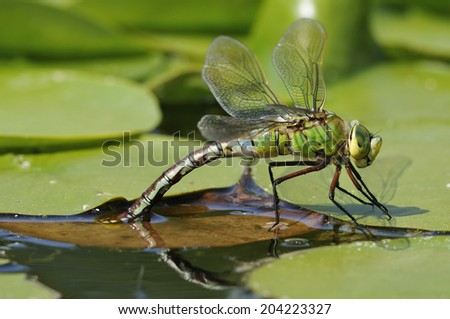 Emperor Dragonfly - Anax imperator Female laying eggs on floating vegitation