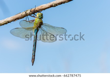 Emperor Dragonfly (Anax imperator) sitting on branch in sun