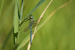 Emperor dragonfly blue empemperor dragonfly blue emperor Anax imperator hawker dragonfly Aeshnidaeeror Anax imperator hawker dragonfly Aeshnidae. High quality photo