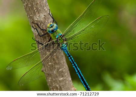 Emperor Dragonfly on a branch on green