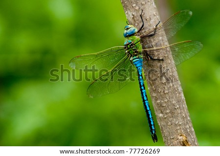 Emperor Dragonfly on a stick
