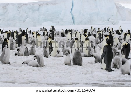 Emperor penguin (Aptenodytes forsteri) colony on the sea ice in the Weddell Sea, Antarctica