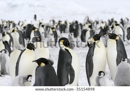 Emperor penguin (Aptenodytes forsteri) colony on the sea ice in the Weddell Sea, Antarctica