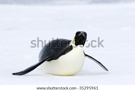 Emperor penguin (Aptenodytes forsteri) sliding on the ice in the Weddell Sea, Antarctica