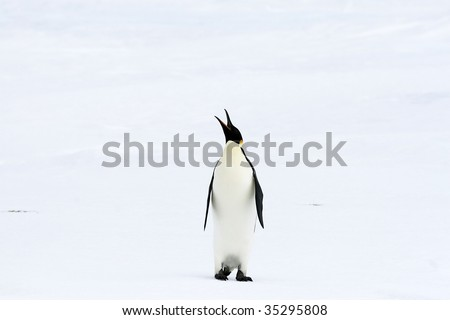 Emperor penguin (Aptenodytes forsteri) standing on the ice in the Weddell Sea, Antarctica
