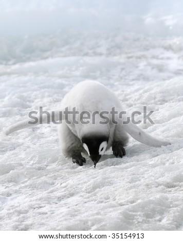 Emperor penguin chick (Aptenodytes forsteri) on the ice in the Weddell Sea, Antarctica