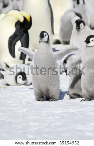 Emperor penguin chick (Aptenodytes forsteri) on the ice in the Weddell Sea, Antarctica