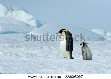 Emperor Penguin Chick follows after father.  Emperor Penguins offer many portraits of emotions and situations that look startlingly human.  Scenes of family life are certainly abundant.