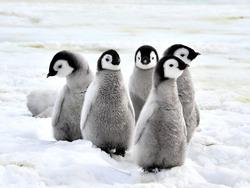 Emperor Penguin Chicks on the snow in Antarctica