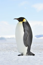 Emperor Penguin on the snow