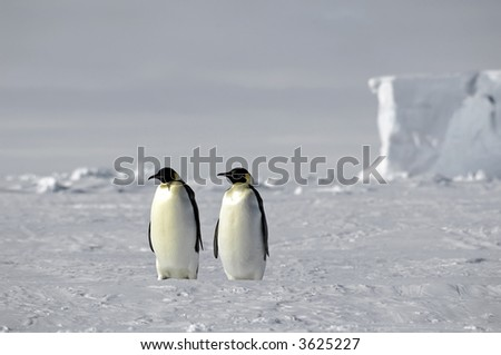 Emperor penguin pair in Antarctica