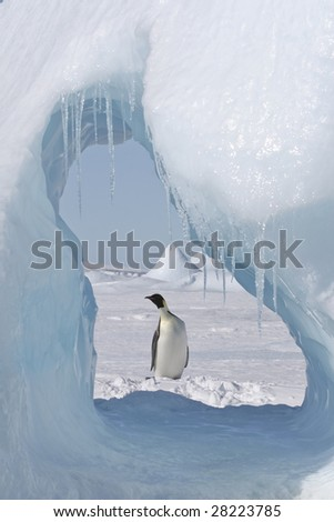 Emperor penguin seen through an ice cave