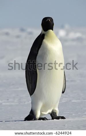 Emperor penguin watching
