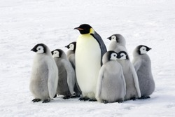 Emperor penguin with children, the Antarctic.