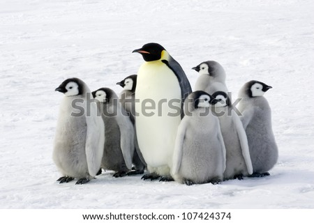 Emperor penguin with children the Antarctic.