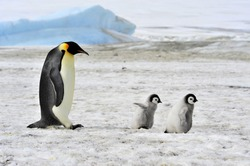 Emperor Penguin with two chicks in Antarctica