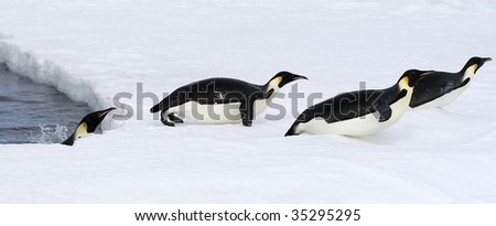 Emperor penguins (Aptenodytes forsteri) jumping out of the water onto the ice in the Weddell Sea, Antarctica