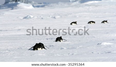 Emperor penguins (Aptenodytes forsteri) sliding on the ice in the Weddell Sea, Antarctica