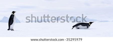 Emperor penguins (Aptenodytes forsteri) walking on the ice in the Weddell Sea, Antarctica